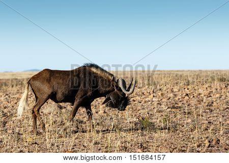 Single Black Wildebeest In The Field