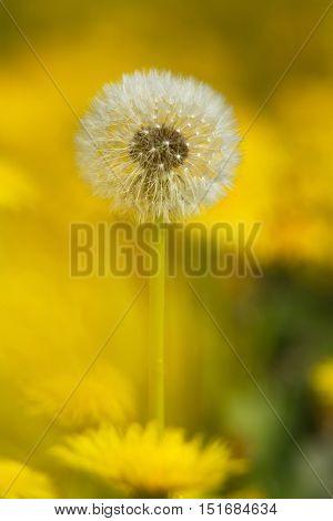 Yellow Dandelions On Green Meadow 5