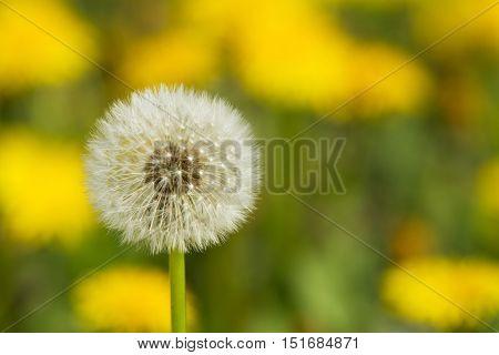 Yellow Dandelions On Green Meadow 3