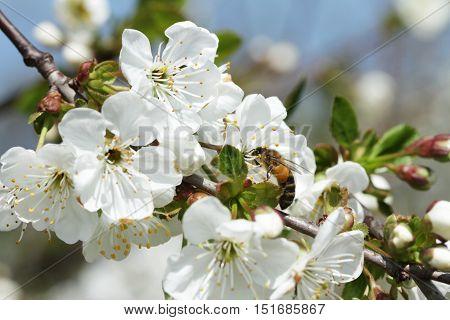 Bees On Flowers Apple 10