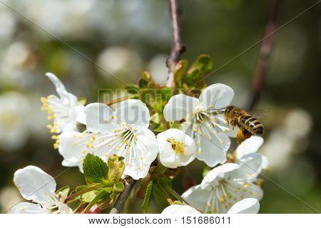Bees On Flowers Apple 6
