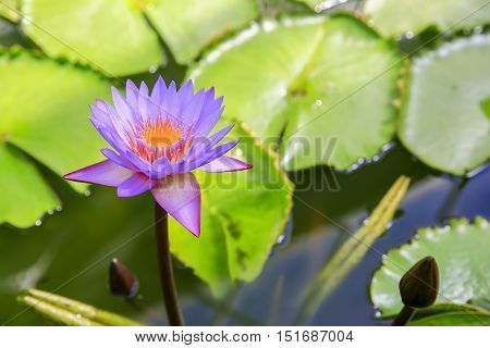 Purple Water Lilly In The Pond Of Wellington Botanical Garden