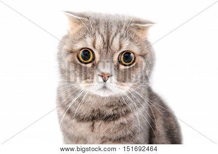 Portrait Of A Cat Close-up. Breed Scottish Fold..
