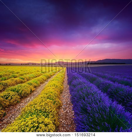 Lavender and everlasting flowers in Provence, France