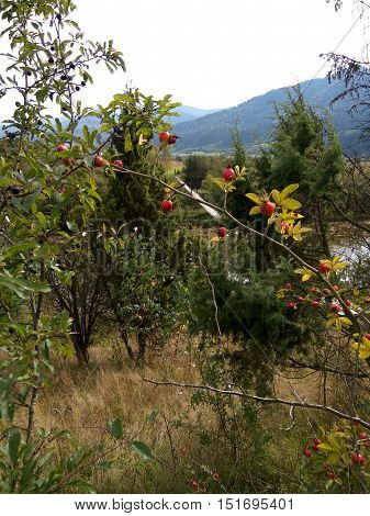 in the woods on a background of mountains rising a thorny bush of wild dog rose with thorns