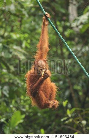 Baby Orangutan swings from rope in rain, eating banana