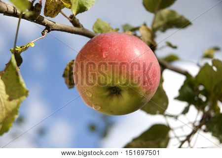 Red-green apple with waterdrops on the branch