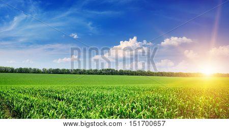 Beautiful sunrise on green cornfield and blue sky