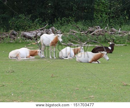 rare scimitar oryx herd grazing the green grass