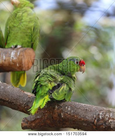 Rare Parrot Scaly-breasted Lorikeet With Feathers All Colored Gr