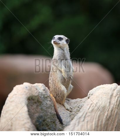 Meerkat Standing On The Rock And Controls Its Territory In Searc