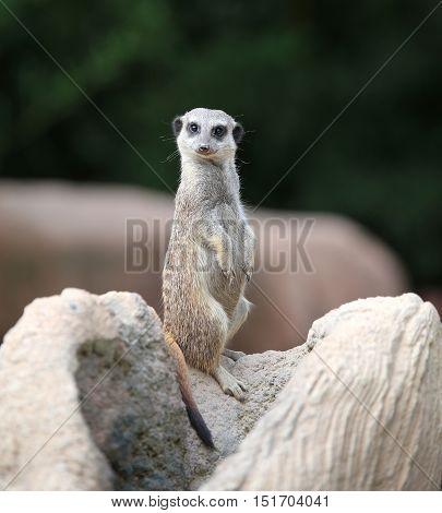 Meerkat Standing Controls Its Territory In Search Of Prey