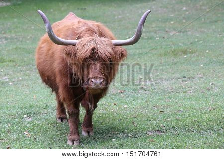 Big Yak With Long Brown Hair And Big Horns