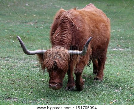 Yak With  Long Horns While Grazing The Lawn