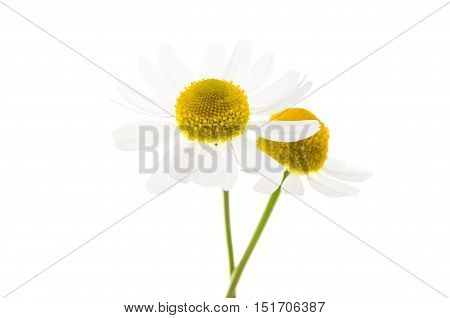 Medical daisy isolated on a white background