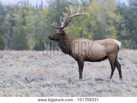 Prime age bull elk profile in sagebrush