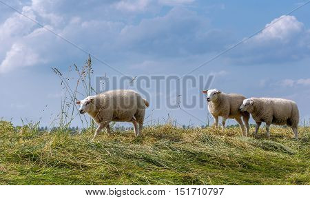 Sheep walking and standing on the top of a Dutch dike on a sunny day in the summer season.