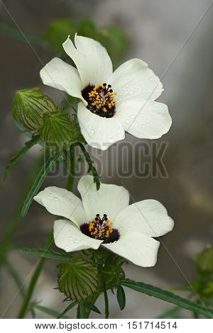 Flower-of-an-hour (Hibiscus trionum). Called Bladder hibiscus Bladder ketmia Bladder weed Modesty Puarangi Shoogly and Venice mallow also