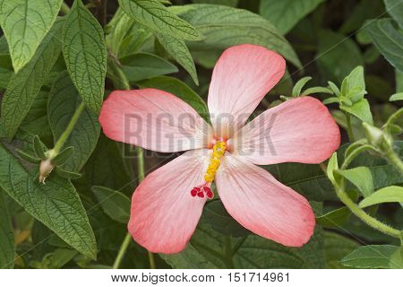 Abelmosk (Abelmoschus moschatus). Called Annual hibiscus Bamia Moschata Muskdana Musk mallow Musk okra Ornamental okra Yorka okra and Tropical jewel hibiscus also
