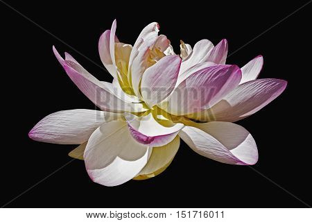 Sacred lotus (Nelumbo nucifera). Called Indian Lotus Bean of India and Lotus also. Image of flower isolated on black background