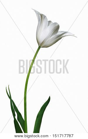 Tulip (Tulipa x gesneriana). Called Didier's Tulip and Garden Tulip also. Close up image of flower isolated on white background