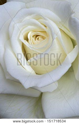 Close up image of hybrid rose flower (Rosa x hybrid)