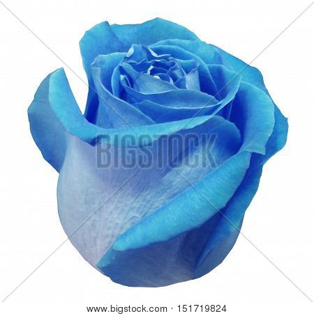 Flower rose blue rose white isolated background with clipping path. Closeup. blue rose side view.