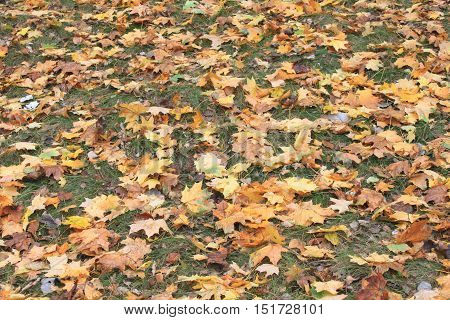 Colorful autumn leaves on green grass in autumn