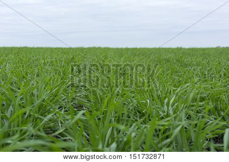 Wheat green grass of the field meadow autumn lots of open space the field goes into the horizon Russia Tula region Central climatic zone of temperate continental climate nature landscape cloudy day