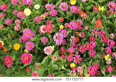 Colorful Zinnia Flowers Blooming Background Top View