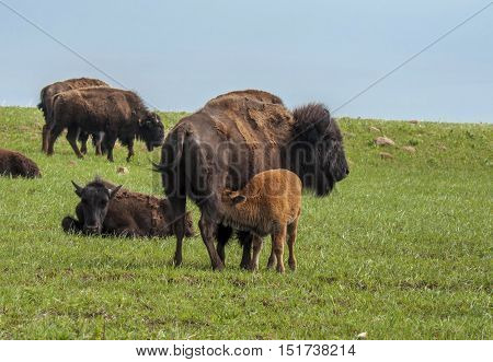 A young bison nurses from its mother amidst a herd of Bison in the Oklahoma prairie.