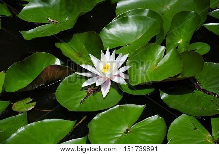 A white and pink water lily on green lily pads on a small pond.