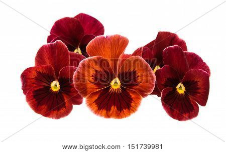gules pansy flower isolated on white background