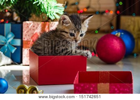Close up of cute brown tabby persian kitten play and looking for gift in christmas day.
