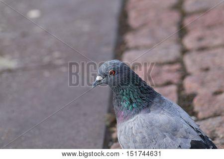 Pigeon. Dove. Portrait of a pigeon bird