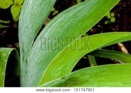 Close Up Of Rain Covered Bearded Iris Leaves