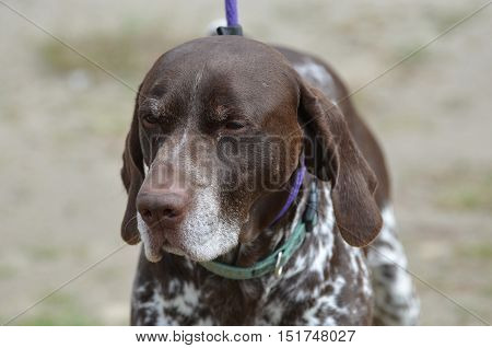 Really cute face of a German shorthaired pointerdog on a leash.