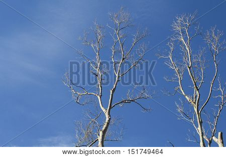 White tree silhouettes on blue sky. White winded timber in the forest. Natural decoration for card or banner with text place. Abstract photo of old trees. Sunny day in the wood. Dead tree trunks photo