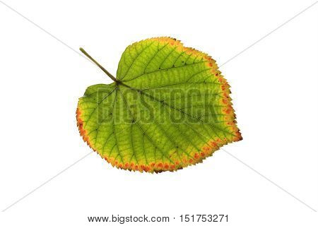 autumn yellowing and withering leaf on a white isolated background