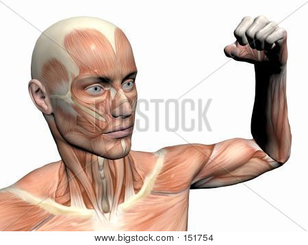 Anatomy Of The Man, Muscular Man.