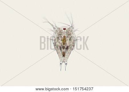 Freshwater Zooplankton Copepod Nauplius Larva. Microscopic Crustacean