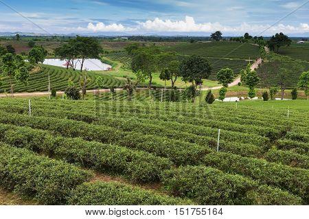 Tea plantation over hight hill mountain skyline, natural landscape background, north of Thailand