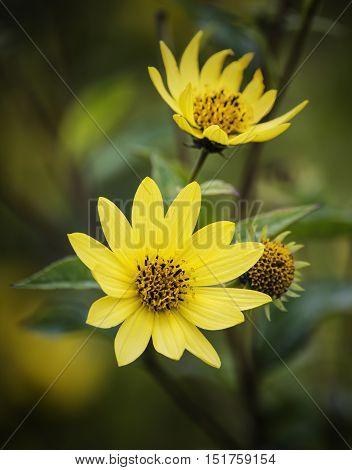 Beautiful Bright Yellow Wildflower Macro Close Up
