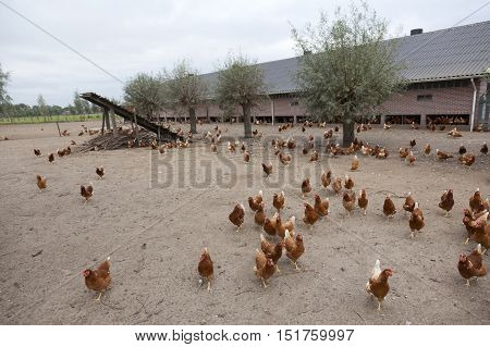 brown chicken outside poultry farm in the netherlands near utrecht