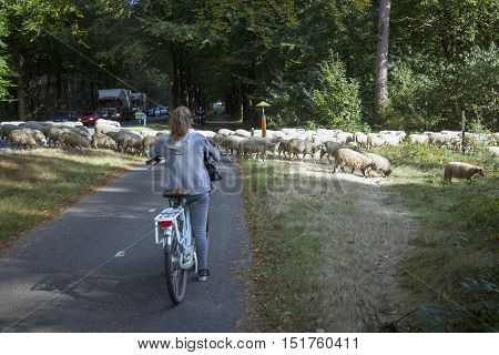 austerlitz, netherlands, 5 october 2016: flock of sheep cross road in the netherlands between Austerlitz and Maarn while cars and a girl on bicycle have to wait