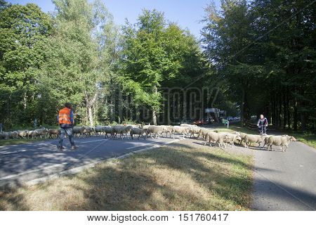 austerlitz, netherlands, 5 october 2016: flock of sheep cross road in the netherlands between Austerlitz and Maarn while cars have to wait