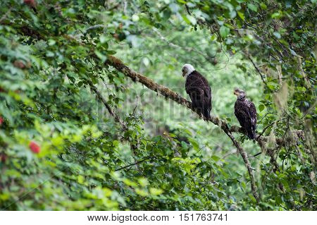 Golden Eagle (Aquila chrysaetos) male and female sit on a branch in Mora Beach Washington state USA -serial picture 2 of 4
