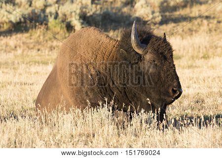 Bison in grass in field of Hayden Valley