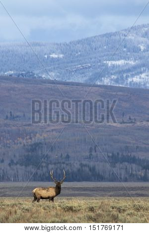 Elk in the meadow with mountains in the background near sunset