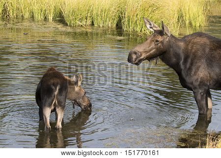 Cow and juvenile moose feeding in pond